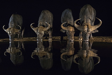 Cape buffalo, Syncerus caffer, drinking at night, Zimanga private game reserve, KwaZulu-Natal, South Africa
