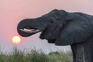 African elephant, Loxodonta africana, at sunset, Chobe river, Botswana, Southern Africa, August 2018