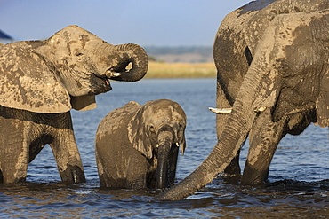 African elephants, Loxodonta africana, drinking, Chobe river, Botswana, Southern Africa
