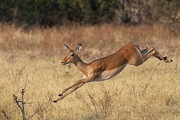 Impala, Aepyceros melampus, running, Chobe national park, Botswana, Southern Africa