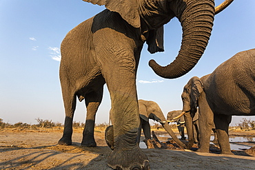 African elephant bulls, Loxodonta africana, at waterhole, Khwai conservancy, Botswana, Southern Africa,
