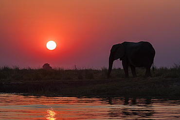 African elephants, Loxodonta africana, at sunset, Chobe river, Botswana, Southern Africa