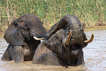 African elephants, Loxodonta africana, bathing, Addo elephant national park, Eastern Cape, South Africa