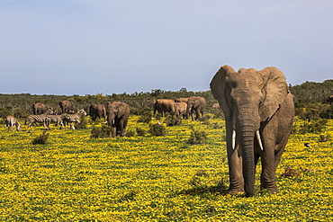 African elephants, Loxodonta africana, in spring flowers, Addo elephant national park, Eastern Cape, South Africa