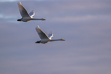 Whooper swans, Cygnus cygnus, in flight, Caerlaverock WWT reserve, Dumfries and Galloway, Scotland, United Kingdom, Europe