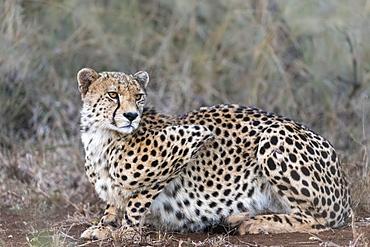 Cheetah (Acinonyx jubatus), Zimanga private game reserve, KwaZulu-Natal, South Africa, Africa