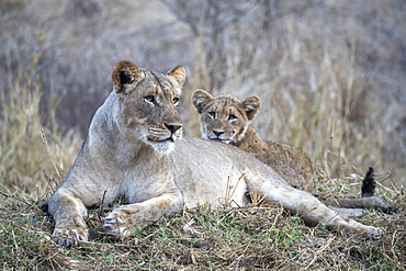 Lioness (Panthera leo) with cub, Zimanga private game reserve, KwaZulu-Natal, South Africa, Africa