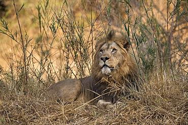 Lion (Panthera leo), Zimanga private game reserve, KwaZulu-Natal, South Africa,