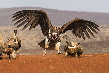 Lappetfaced vulture (Torgos tracheliotos) intimidating whitebacked vulture for food, Zimanga private game reserve, KwaZulu-Natal, South Africa, Africa