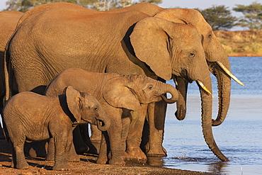 African elephants (Loxodonta africana) drinking, Zimanga game reserve, KwaZulu-Natal, South Africa, Africa