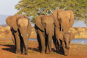 African elephants (Loxodonta africana), Zimanga game reserve, KwaZulu-Natal, South Africa, Africa