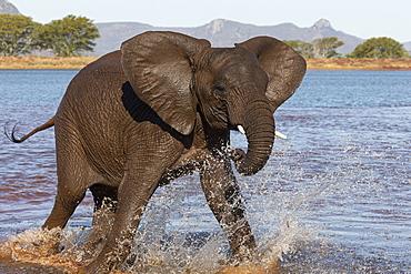 African elephant (Loxodonta africana) in water, Zimanga game reserve, KwaZulu-Natal, South Africa, Africa