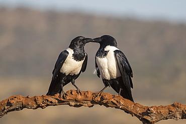 Pied crows (Corvus albus), Zimanga private game reserve, KwaZulu-Natal, South Africa, Africa