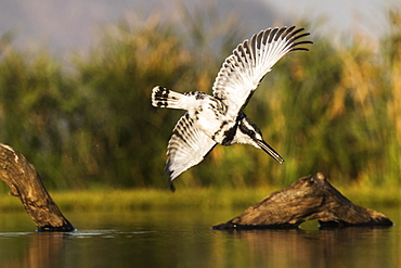 Pied kingfisher (Ceryle rudis) diving, Zimanga private game reserve, KwaZulu-Natal, South Africa, Africa