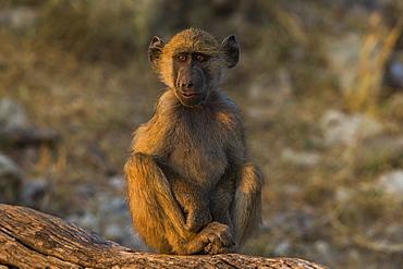 Chacma baboon (Papio ursinus), Chobe National Park, Botswana, Africa