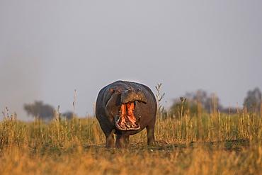 Hippo (Hippopotamus amphibius), Chobe National Park, Botswana, Africa