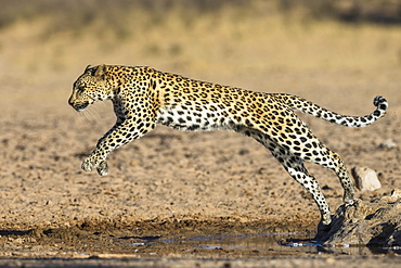 Leopard (Panthera pardus) female leaping, Kgalagadi Transfrontier Park, South Africa, Africa