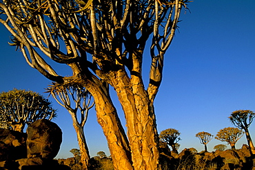 Close-up of a quiver tree (Aloe dichotoma), Quiver Tree Forest, Keetmanshoop, Namibia, Africa
