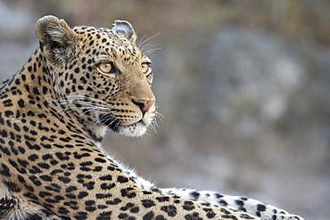 Leopard (Panthera pardus) female, Chobe National Park, Botswana, Africa