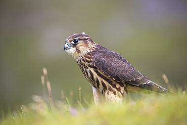 Merlin (Falco columbarius), captive, Cumbria, England, United Kingdom, Europe