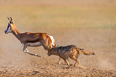 Blackbacked jackal (Canis mesomelas) chasing springbok, Kgalagadi transfrontier park, South Africa - 743-2001