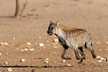 Spotted hyena (Crocuta crocuta), Kgalagadi transfrontier park, South Africa - 743-2002
