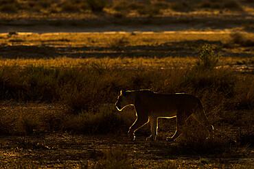 Lioness (Panthera leo), Kgalagadi transfrontier park, South Africa - 743-2003