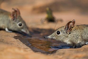 Eastern rock elephant shrews (Elephantulus myurus) drinking, Tuli game reserve, Botswana,