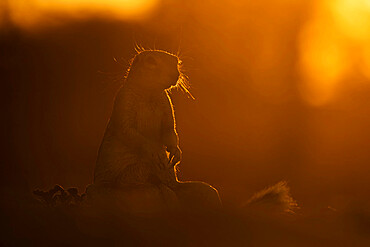 Ground squirrel (Xerus inauris), Kgalagadi transfrontier park, South Africa