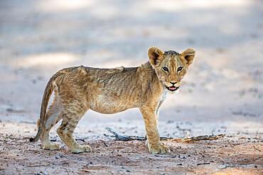 Lion (Panthera leo) cub, Kgalagadi transfrontier park, South Africa - 743-2006
