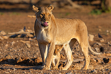 Lioness (Panthera leo) with cub, Kgalagadi transfrontier park, South Africa
