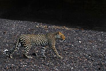 Leopard (Panthera pardus) female, Mashatu game reserve, Botswana - 743-2008