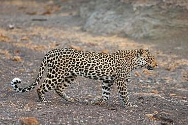 Leopard (Panthera pardus) female, Mashatu game reserve, Botswana