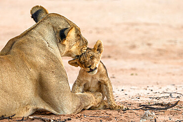 Lioness (Panthera leo) grooming cub, Kgalagadi transfrontier park, South Africa