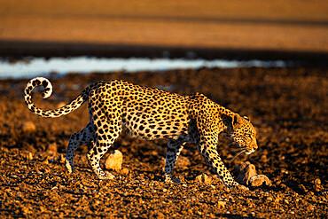 Leopard (Panthera pardus) female, Kgalagadi transfrontier park, South Africa - 743-2011