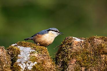 Nuthatch (Sitta europaea), Northumberland national park, UK