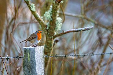 Robin (Erithacus rubecula), Northumberland national park, UK