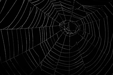 Orb web spider's web (family Araneidae), Sidwood, Kielder Forest, Northumberland national park, UK - 743-2016