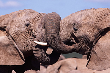 Two African elephants (Loxodonta africana) wrestling, Addo National Park, South Africa, Africa