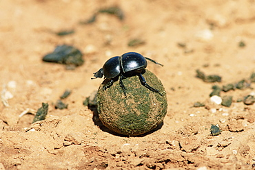 Flightless dung beetle rolling brood ball, Addo National Park, South Africa, Africa