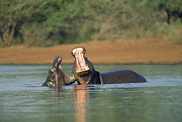Common hippos, Hippopotamus amphibius, two young males sparring, Kruger National Park, South Africa, Africa
