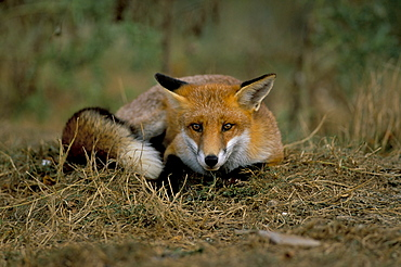Captive red fox (Vulpes vulpes), United Kingdom, Europe