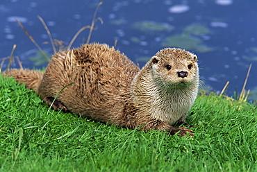 Otter (Lutra lutra), Otter Trust North Pennine Reserve, Barnard Castle, County Durham, England, United Kingdom, Europe