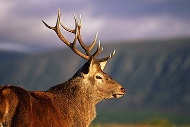 Red deer stag (Cervus elaphus), captive, Highland Wildlife Park, Kingussie, Scotland, United Kingdom, Europe