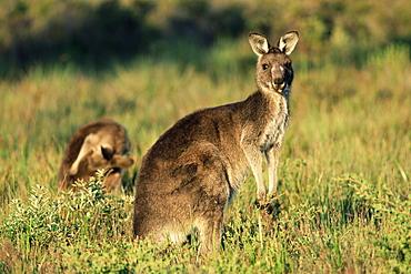 Eastern grey kangaroos, Macropus giganteus, Wilson's Promontory National Park, Victoria, Australia, Pacific