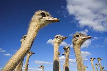 Ostriches, Struthio camelus, on ostrich farm, Western Cape, South Africa, Africa
