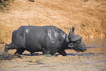 Cape buffalo, Syncerus caffer, mud-bathing, Addo Elephant National Park, South Africa, Africa