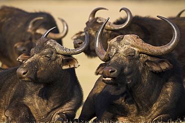Cape buffalo, Syncerus caffer, Addo Elephant National Park, South Africa, Africa