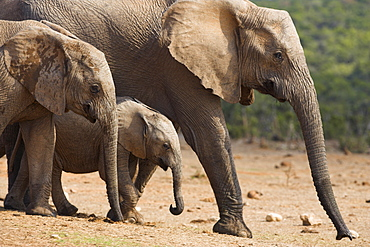Maternal group of elephants, Loxodonta africana, in Addo Elephant National park, Eastern Cape, South Africa