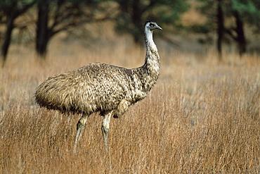 Emu, Dromaius novaehollandiae, Flinders Ranges National Park, South Australia, Australia